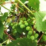 Vine Branches